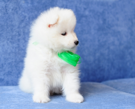 Beautiful Samoyed (or Bjelkier) puppy with a bright green ribbon photo