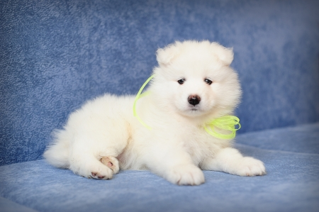 Cute Samoyed (or Bjelkier) puppy  photo