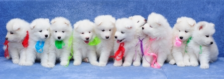 Ten fluffy Samoyed (or Bjelkier) puppies  with multicolored ribbons