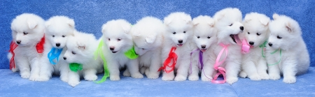 Dix mignons chiots de chien samoy�de (�galement connu sous le nom Bjelkier) assis dans une rang�e