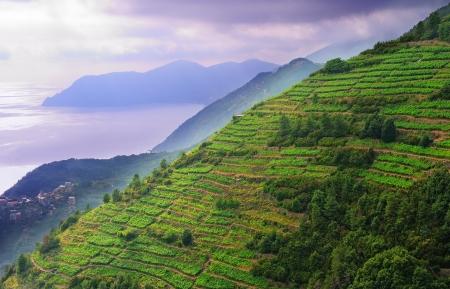 Paysage de vignes sur le coteau dans le parc national des Cinque Terre, Italie Banque d'images