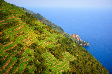 Landscape with vines on the hillside and Manarola village in the National park of Cinque Terre, Italy Standard-Bild