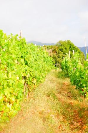 Vines in an Italian vineyard in Liguria photo
