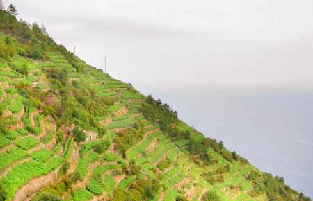 Landscape with vines on the hillside in Cinque Terre, Italy photo