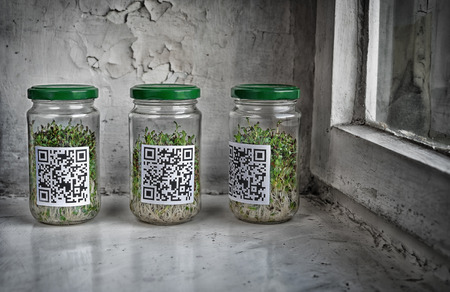 sprouts: Sprouted alfalfa seeds in a glass jar