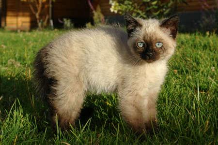 the siamese kitten photo