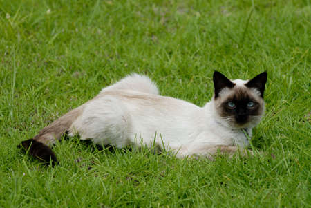 the siamese cat photo
