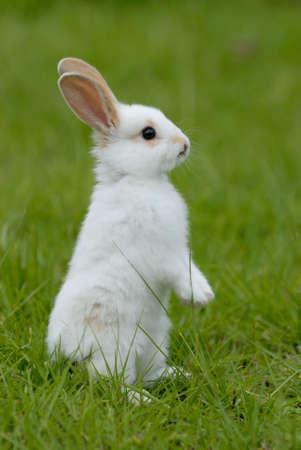 wit konijn: wit konijn op het gras Stockfoto