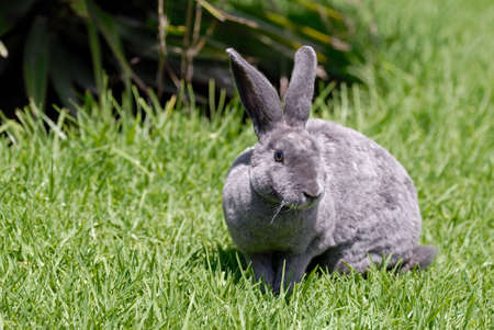 the grey rabbit on the grass. breed reks