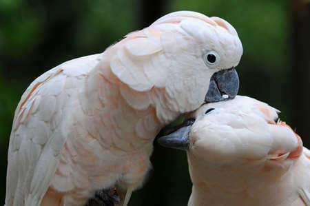 Kissing parrots photo