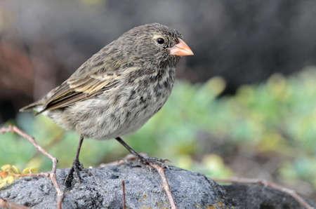 galapagos: Little galapagos bird on a rock