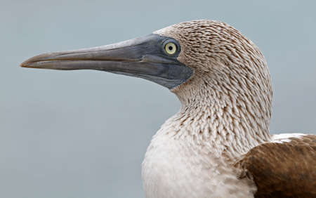 Galapagos blue-footed booby portrait photo