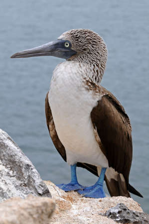 Galapagos blue-footed booby is posing photo