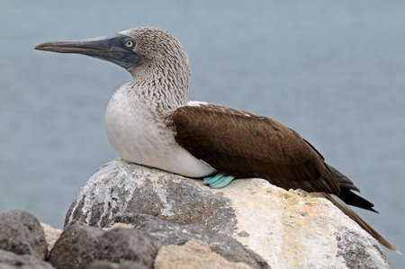 booby: Bluefooted booby on the rock