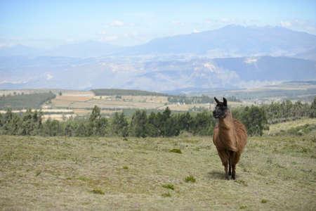 origen animal: llama en el campo del Ecuador sin límites.