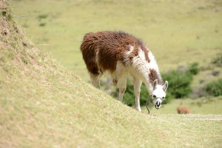 quechua: llama on the boundless Ecuadorian field.