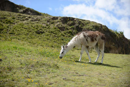 boundless: llama on the boundless Ecuadorian field.