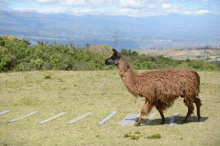 boundless: Brown llama on the boundless Ecuadorian field.