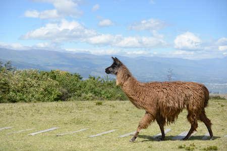 origen animal: Llama Brown en el campo ecuatoriano sin límites.