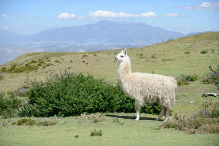 family picture: White llama is standing on the field. Stock Photo