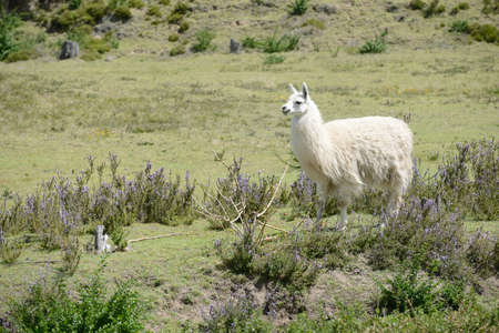 quechua indian: White llama is standing on the field. Stock Photo