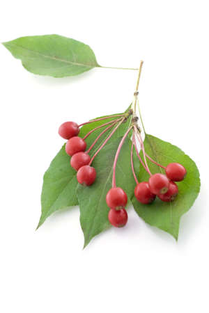 bunchy: Isolated bunch of hawthorn berry on white background