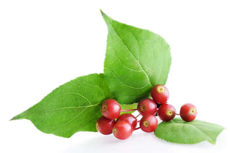 Isolated bunch of hawthorn berry on white background