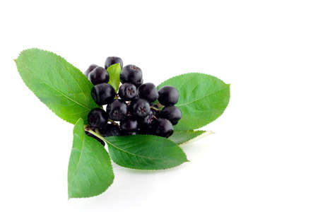 bunchy: Bunch of black mountain ash on white background Stock Photo