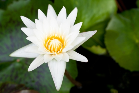 White lotus blossom Stock Photo