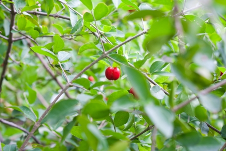 Rad Prunus arium on the tree Stock Photo