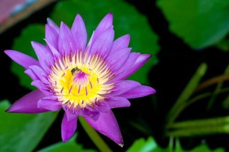 Lotus blossom it beauty