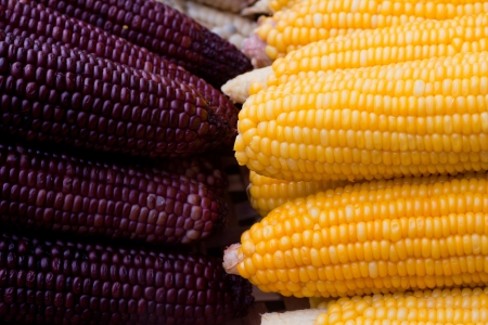 Two-color corn Stock Photo - 14232743