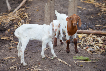 baby goats in farm