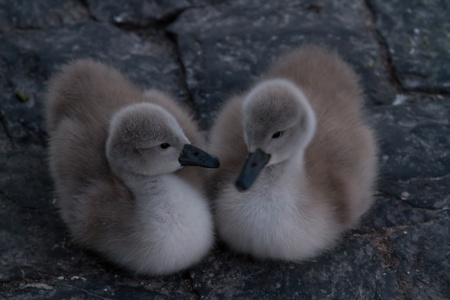 Two small cuddly young swans look into each others eyes photo