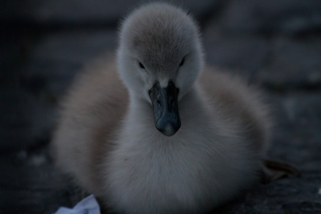 small cuddly young swan photo