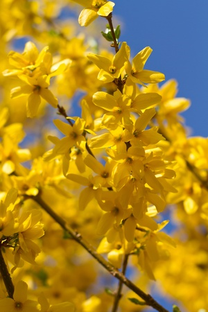 Forsythia × intermedia in spring with blue sky in background photo