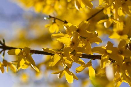 Forsythia × intermedia in spring photo
