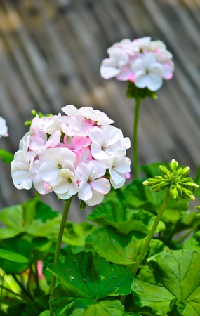 White-Pink flower with wood background