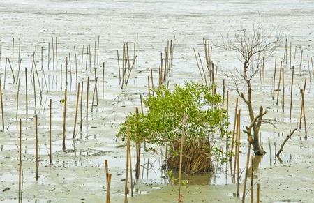 Prepared place for growing mangrove at Petchaburi, Thailand Stock Photo - 10279696