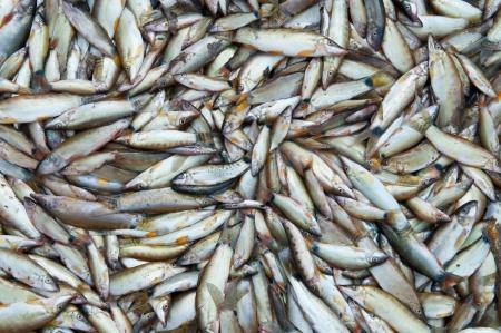 Fresh fish in local market at Jampasak, Laos Stock Photo - 14216547