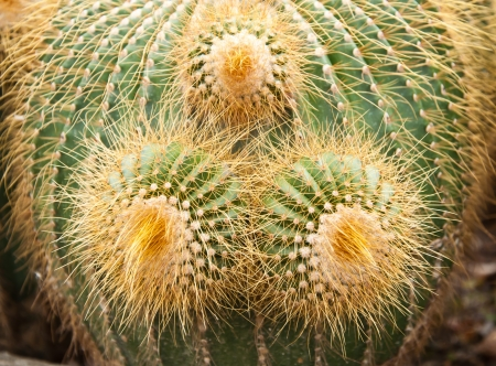 Cactus at the Pineview Nursery in Kalimpong, Sikkim, India photo