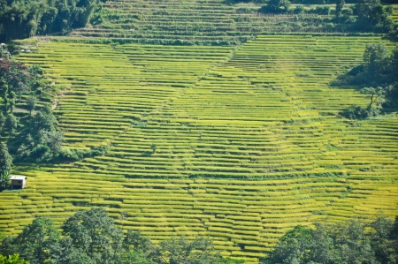 Rice Terrace in Pelling, Sikkim, India photo