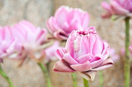Elaborer lotus rose pour le culte de Bouddha