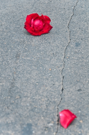 Red rose fade one foliage on cement ground floor photo