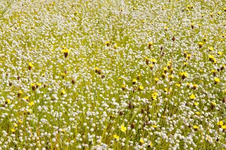 La fleur a class� de Eriocaulon henryanum Ruhle et Xyris pauciflora willd en Tha�lande Banque d'images