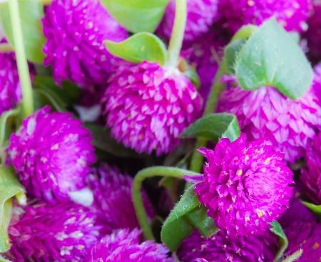 globosa: The group of purple Globe Amaranth  Comphrena globosa  as background