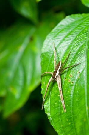 nursery web spider: Spider on the leaf name Pisaurina brevipes which is a species of Nursery web spider at Kang Krajan national part in Thailand Stock Photo