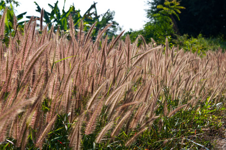 imperata: The field of flower of Imperata cylindrical Beauv grass