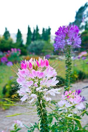 Le Cleome rose et violet dans le jardin comme arri�re-plan