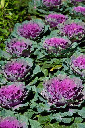 flowering kale: The white Flowering Cabbage and Kale or Ornamental Cabbage and Kale or Brassica oleracea in Thailand Stock Photo